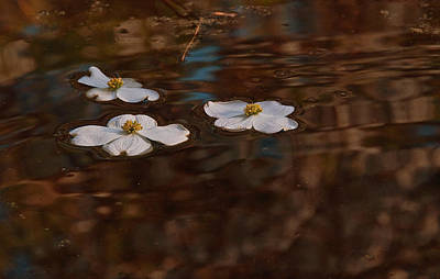 Art Print featuring the photograph Three Dogwood Blooms In A Pond  by John Harding