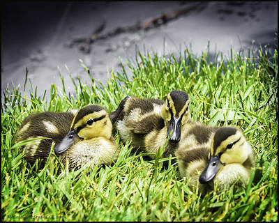 Photograph - Three Ducklings by LeeAnn McLaneGoetz McLaneGoetzStudioLLCcom