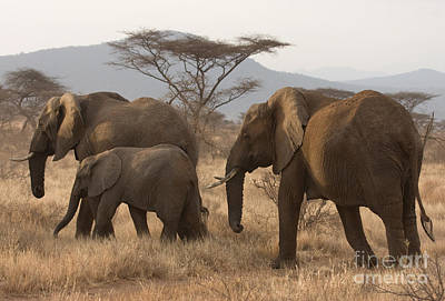 Photograph - Three Elephants by Chris Scroggins