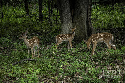 Photograph - Three Fawns by Ronald Grogan
