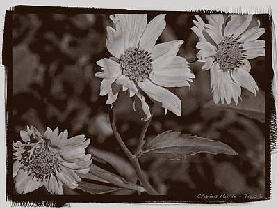 Photograph - Three Flowers In Palladium  by Charles Muhle