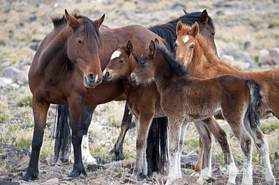 Photograph - Three Foals Together by Lula Adams