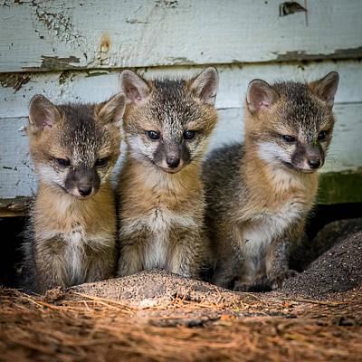 Triplet Photograph - Three Fox Kits by Paul Freidlund