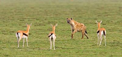 Fawn Photograph - Three Gazelle Fawns Gazella Thomsoni by Panoramic Images