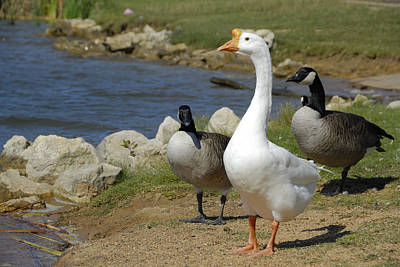Photograph - Three Geese Just Srolling Along by Charles Beeler