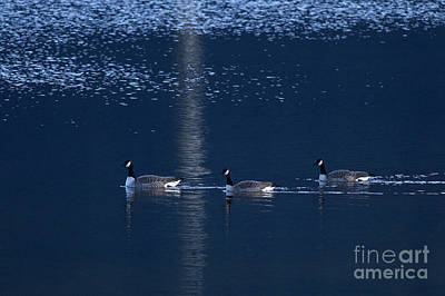 Three Geese Swimming Print by Sharon Talson