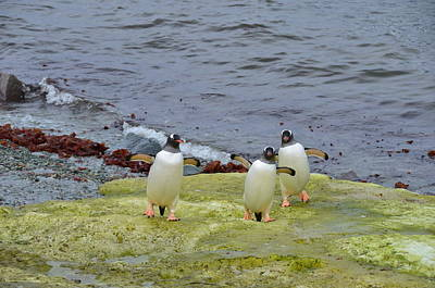 Three Stooges Photograph - Three Gentoo Penguins - 3 Stooges by Sandi J Phillips McMullen