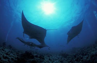 Batoidea Photograph - Three Giant Oceanic Manta Rays by Steve Jones