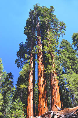 Three Giant Sequoias  Art Print by Barbara Snyder