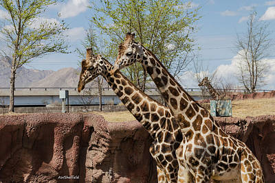 Photograph - Three Giraffes by Allen Sheffield