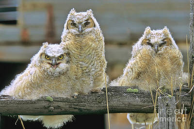 Photograph - Three Great-horned Owl Chicks by Gary Beeler