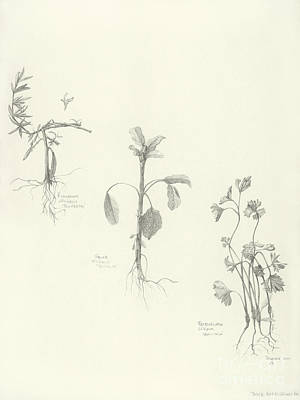 Drawing - Three Herbs by Laura Hamill