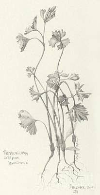 Drawing - Three Herbs - Parsley by Laura Hamill