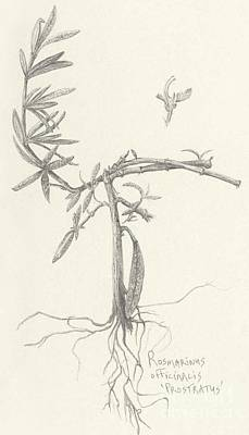 Drawing - Three Herbs - Rosemary by Laura Hamill