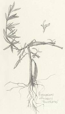Three Herbs - Rosemary Art Print