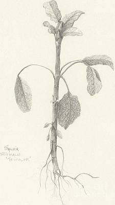 Drawing - Three Herbs - Tricolor Sage by Laura Hamill