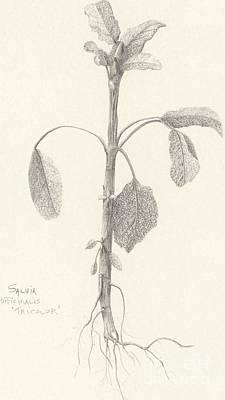Three Herbs - Tricolor Sage Art Print
