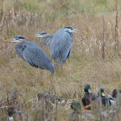 Photograph - Three Herons by Ronda Broatch
