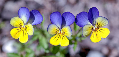 Pansies Photograph - Three In A Row by Aaron Aldrich