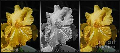 Painting - Three Interpretations Of The Tall Bearded Iris Named Saharan Sun by J McCombie