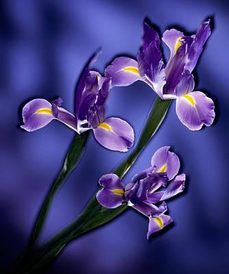 Three Iris Xiphium Original