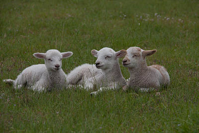 Three Lambs Print by Richard Baker