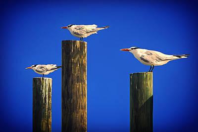 Photograph - Three Laughing Gulls by John Haldane