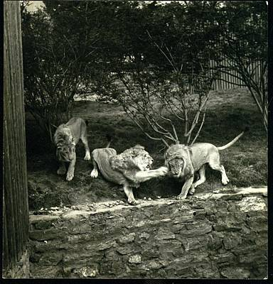 Zoo Photograph - Three Lions At The Bronx Zoo In New York by Toni Frissell