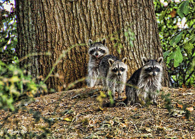 Photograph - Three Little Coons by Barry Cole