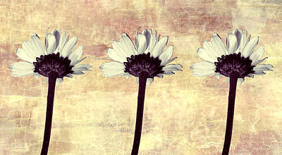 Photograph - Three Little Daisies by Shawna Rowe