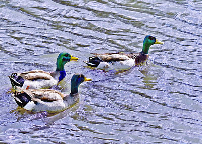 Photograph - Three Mallard Musketeers by Bob and Nadine Johnston
