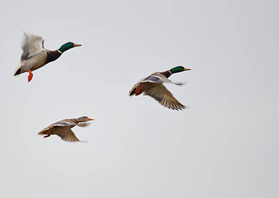 Photograph - Three Mallards by Ronda Broatch
