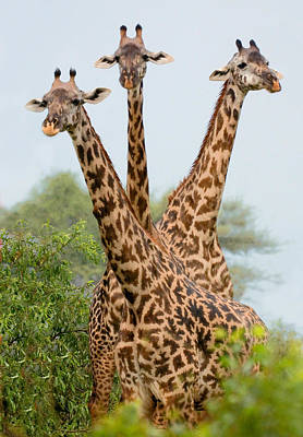 Triplet Photograph - Three Masai Giraffe Standing by Panoramic Images
