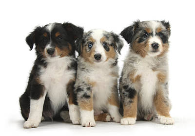 House Pet Photograph - Three Mini American Shepherd Pups by Mark Taylor