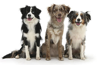 House Pet Photograph - Three Mini American Shepherds by Mark Taylor