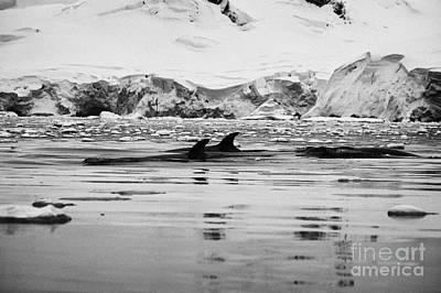 Fournier Photograph - Three Minke Whales Surfacing In Fournier Bay Anvers Island Antarctica by Joe Fox