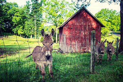 Photograph - Three Mules by David Morel