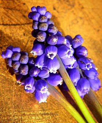 Photograph - Three Muscari  by Chris Berry
