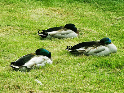 Three Napping Ducks  Art Print