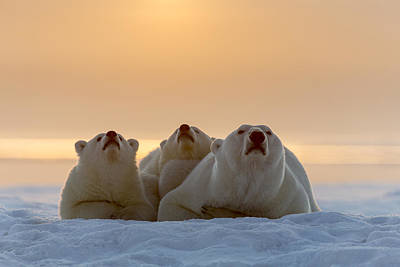 Polar Bear Photograph - Three Noses by Tim Grams