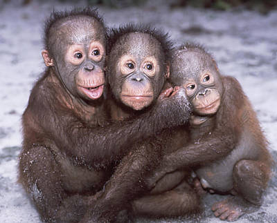 Three Orangutan Babies Art Print