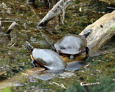 Photograph - Three Paint Turtles by Lucinda VanVleck