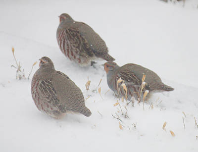 Photograph - Three Partridges Breaking Trails by Donna Munro