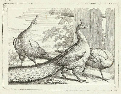 Peacock Drawing - Three Peacocks, Peter Casteels IIi by Peter Casteels Iii