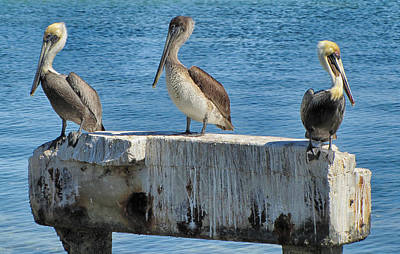 Photograph - Three Pelicans by Bob Slitzan