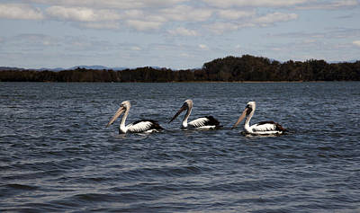 Photograph - Three Pelicans by Carole Hinding