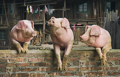 Three Pigs Having A Chat In A Remote Art Print by Mediaproduction