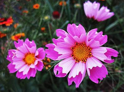 Photograph - Three Pink Cosmos by MTBobbins Photography