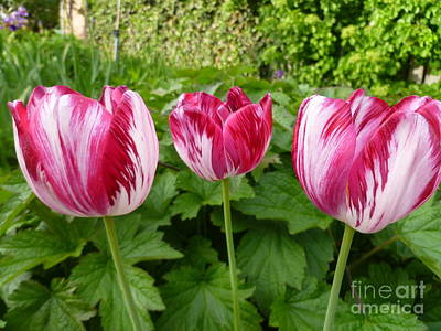 Three Pink Rembrandt Tulips Art Print by Lingfai Leung