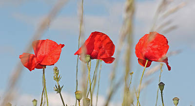 Photograph - Three Poppies by Mary Castellan